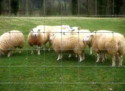 Grillage à mouton